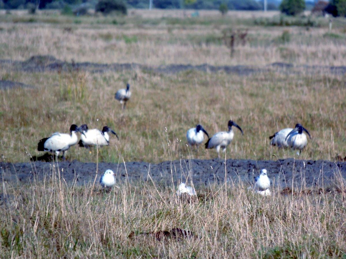 heilige-ibissen-in-de-vendee