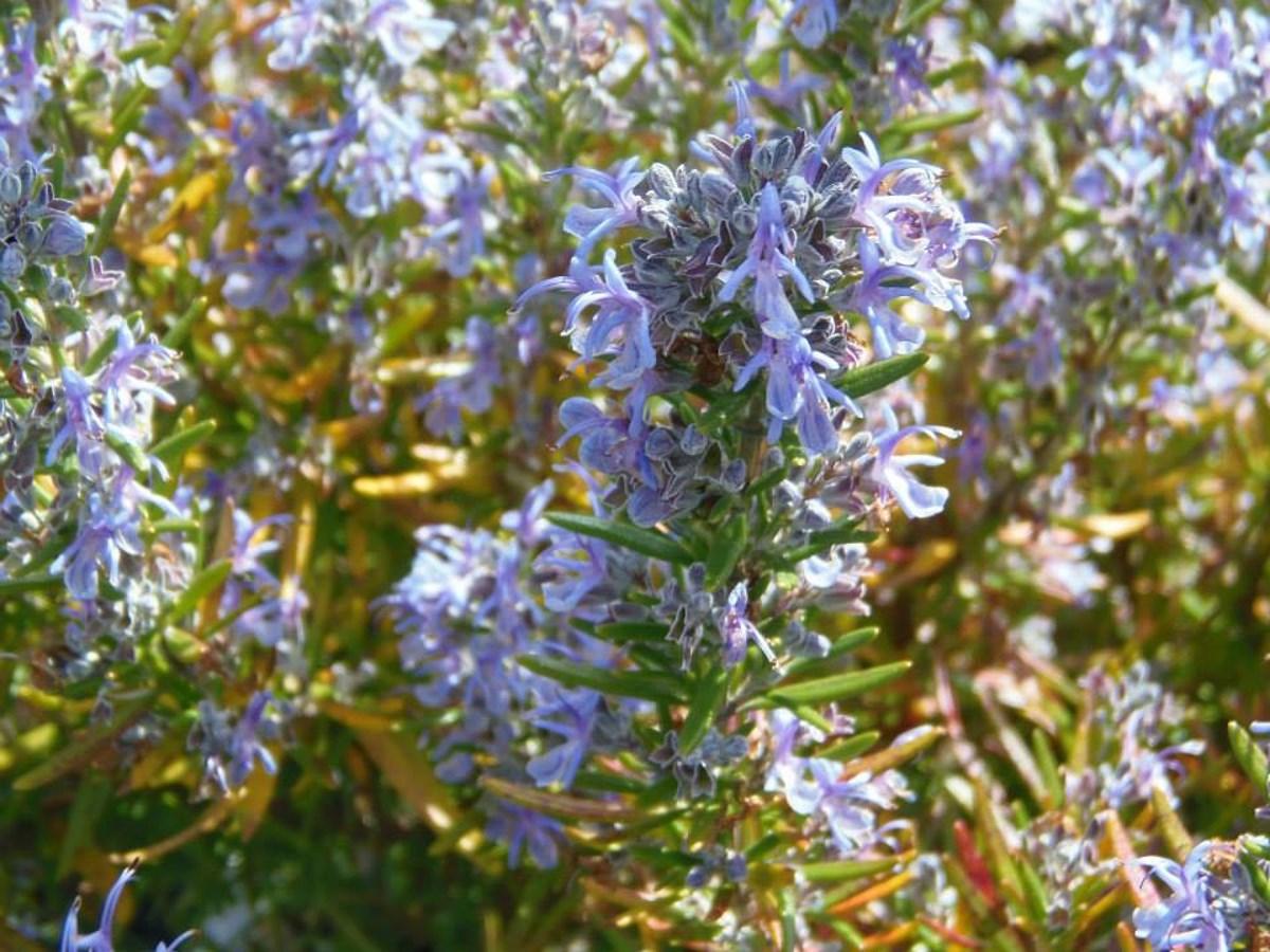 mooie-blauwe-bloemen-in-frankrijk