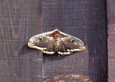 nachtvlinder-in-frankrijk