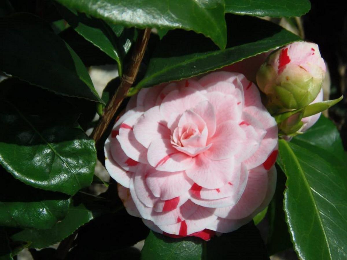 roze-camelia-in-frankrijk