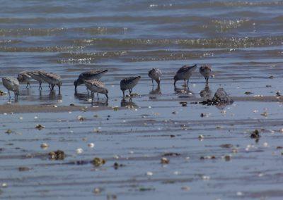 steltlopers aan de franse kust
