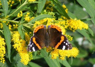 vlinders in onze tuin