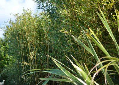 bamboe naast het zwembad in frankrijk