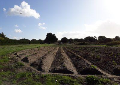 aardappelen van noirmoutier