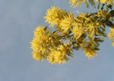 mimosa in volle bloei