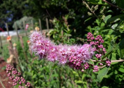 paarsen bloemen in de tuin 2