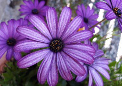 paarsen bloemen in de tuin 3