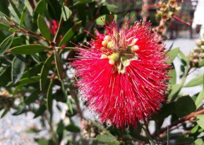 rode bloemen in de tuin 2