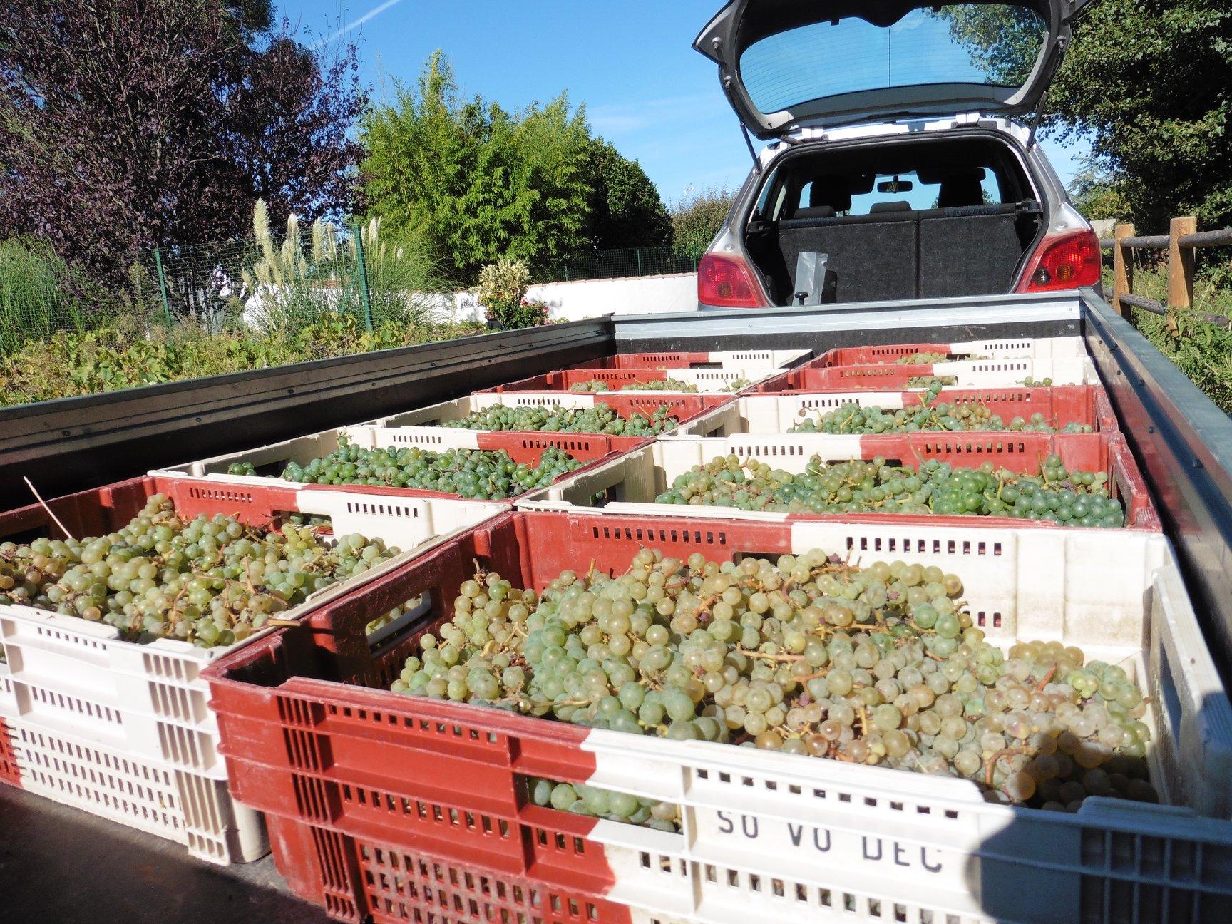 wijnoogst in Frankrijk