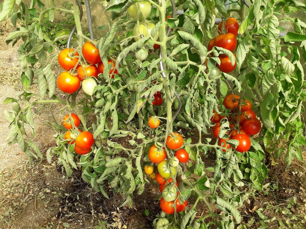 Tomaten in Frankrijk